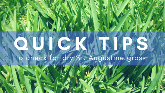 How to Catch Dry St Augustine Grass Before It Gets Brown