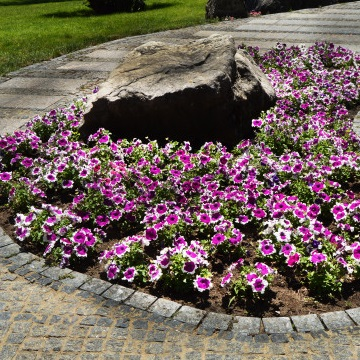 Annuals Petunias - lawn service gainesville fl