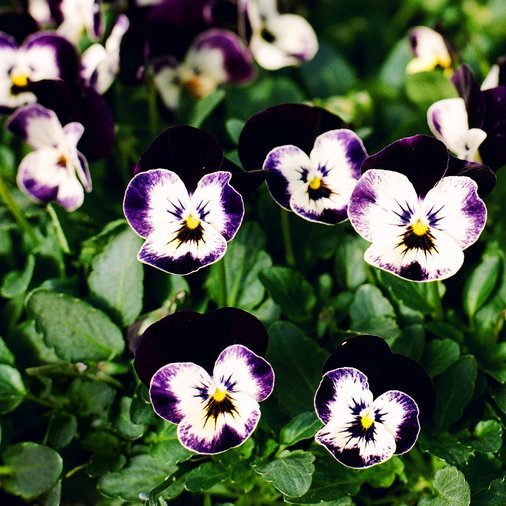 Annuals Viola - Gainesville Lawn Service