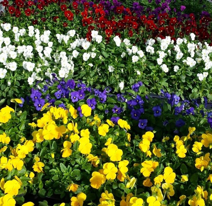 annual bedding flowers gainesville fl