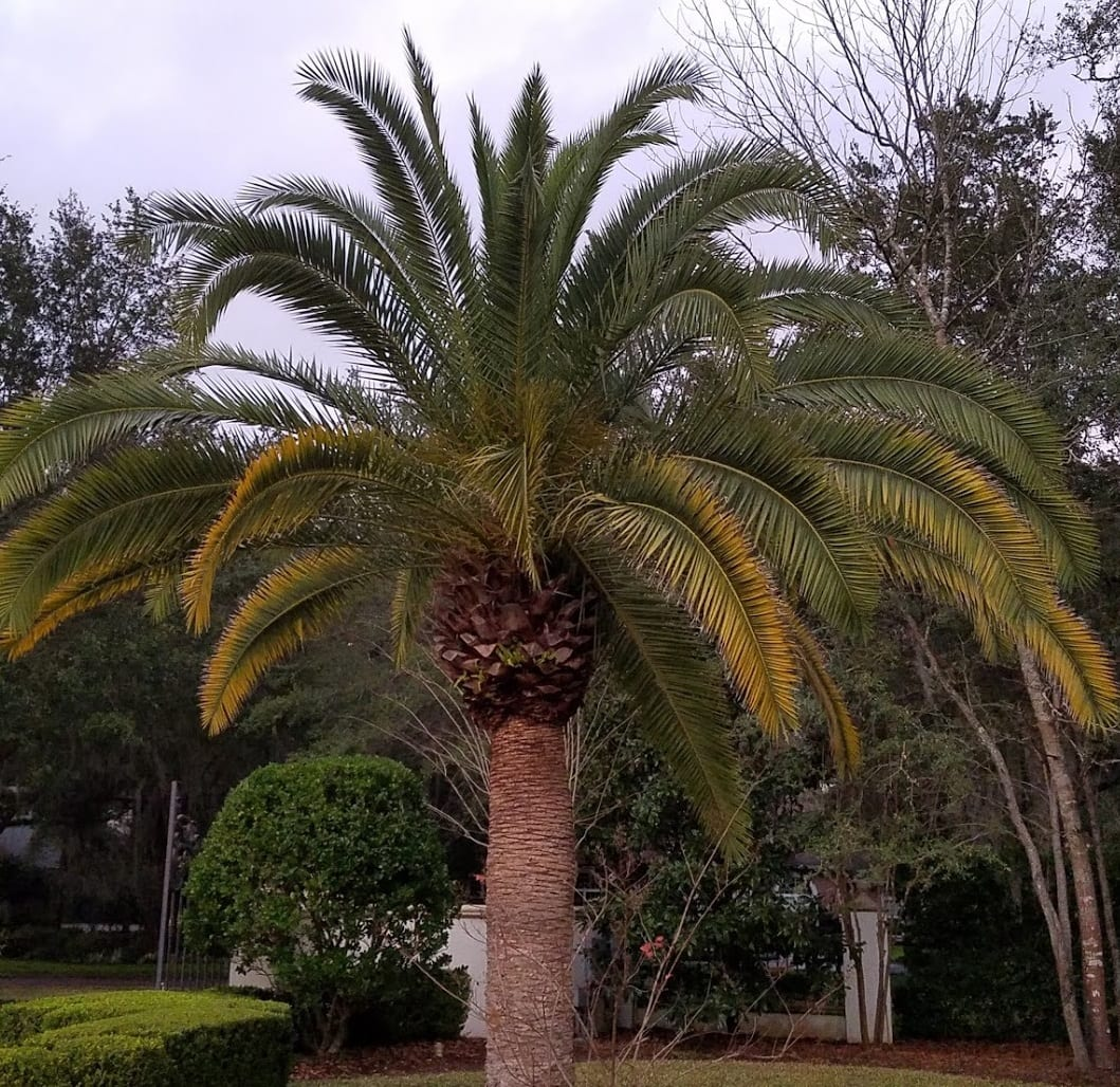 prune palm trees gainesville fl