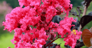 Black Mold on Crepe Myrtles - 7 things you need to know